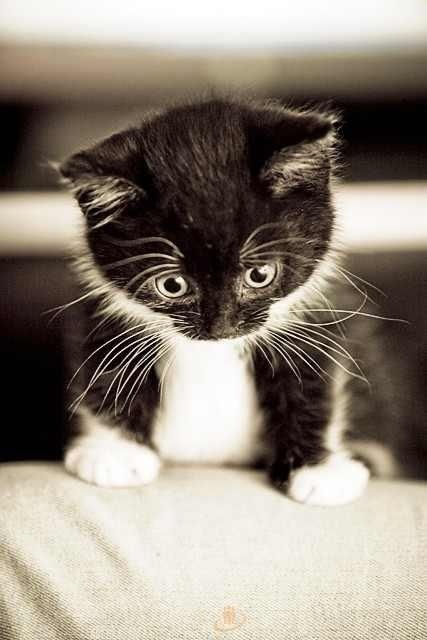 Black and white cat  Looks like socks when tiny.