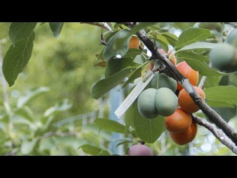 In a video profiling artist and Syracuse University professor Sam Van Aken, viewers are introduced to his extremely interesting hobby. Tree That Grows 40 Different Kinds of Fruit Exists In Nature Now - Great Ideas: http://greatideas.people.com/2015/07/23/tree-grows-40-different-fruits/   http://www.youtube.com/watch?v=ik3l4U_17bI