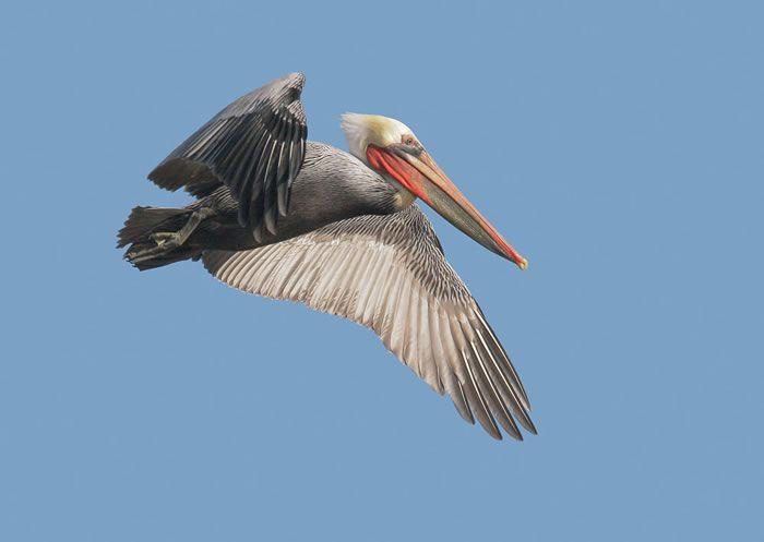 The Pelican National Bird If Barbados Barbados My