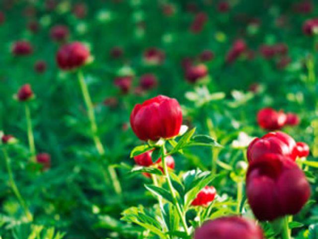 Pfingstrosen vermehren - aus Stecklingen, teilen oder Samen