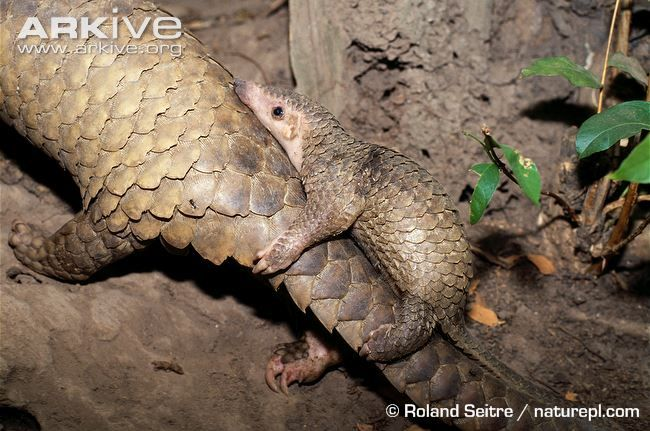 Sunda pangolin videos, photos and facts - Manis javanica | ARKive