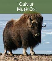 Moschusochse in Alaska