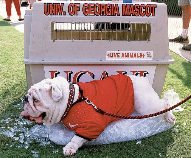 Georgias beloved Uga VI cools down during a heated 2002 game between Georgia and Alabama. (Gary Bogdon/SI) GALLERY: NCAAs Top Real Action Mascots