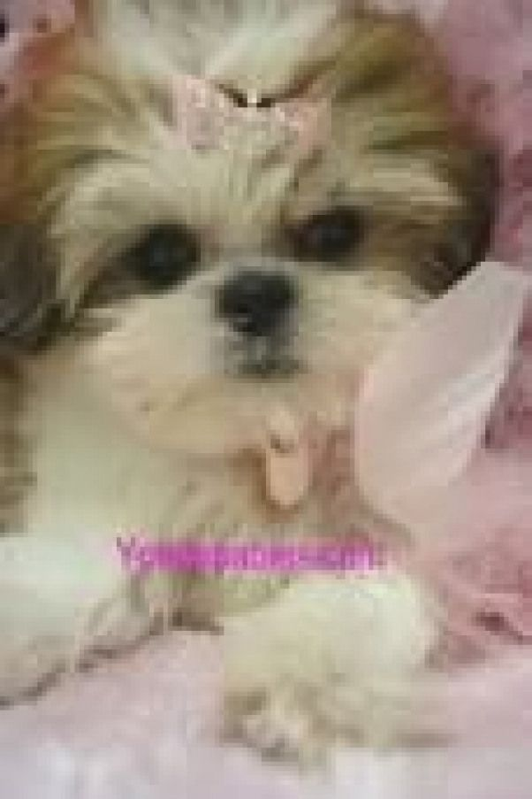 Maltese Shitzu Puppies For Sale Perth Google Search Bigcats Big Cats Face With Images Shitzu Puppies Puppies Puppies For Sale