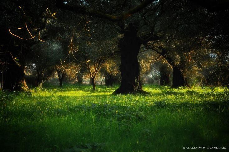 In Katsaneika, Epirus region, there is a small and very old olive grove. Its is protected and preserbed for its unique persistance 400 years now... #epirus #trip #olivegrove #olivetree