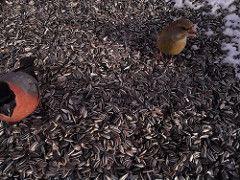 Leevike ja rohevint; The Eurasian bullfinch common bullfinch or bullfinch (Pyrrhula pyrrhula) and The European greenfinch or just greenfinch (Chloris chloris)