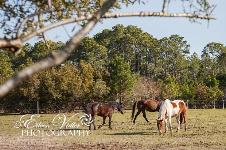 Arnett's Gulfside Trail Rides & Stables & Campground, Santa Rosa Beach, Florida  © Eileen Vidler Photography