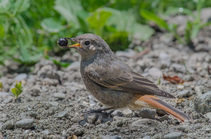 Redstart and wild berry -