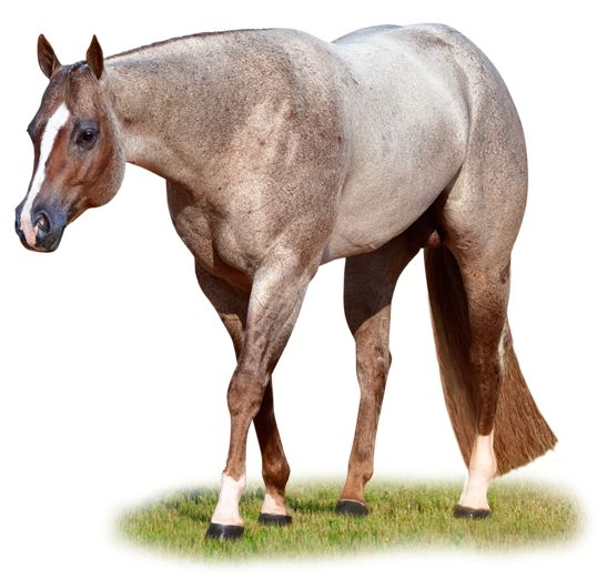 """LOVELOVELOVE """"The Rock"""" AQHA Stallion"""