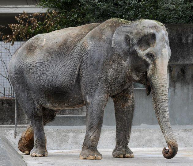 国内の動物園で飼育されていたゾウの中では最高齢、69歳で死んだ「はな子」(2012年、東京都武蔵野市の東京都井の頭自然文化園)