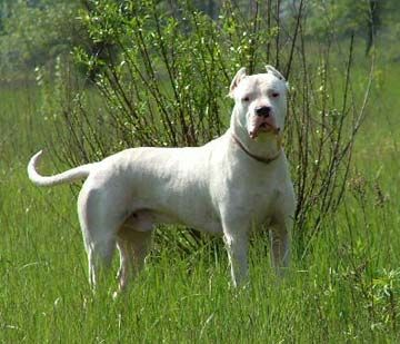 Dogo Argentina. Bred to hunt and kill Mountain Lions. These dogs were also bred to have really pleasant dispositions. They are mixed with Great Dane, Pit Bull and various other breeds.    Google Image Result for http://www.1petloversworld.com/images/dogoargentinos.jpg