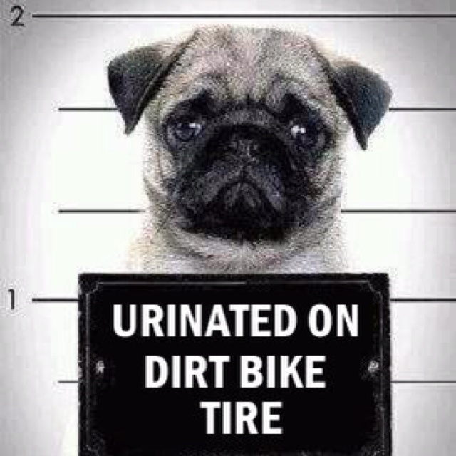 Bad dog...lolFunny Dogs,  Pug-Dog, Mugs Shots, Pets, Trees, Mugshots, So Funny, Pugs Life, Animal