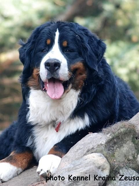 Bernese Mountain Dog - Taczi