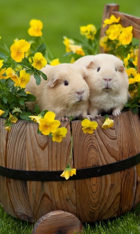 Coballos Conejos de india Adorable