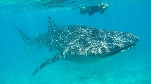 Donsol - Zwemmen Met Walvishaaien! - Filipijnen | Azië.nl
