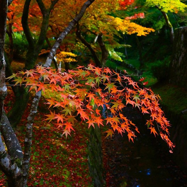 東福寺 - 紅葉 Ⅲ #japan #kyoto #tofukuji #temple #autumn #autumnleaves #momiji #valley #beautiful #view #日本 #京都 #東福寺 #洗玉澗 #寺 #渓谷 #紅葉 #もみじ #美しい #景色