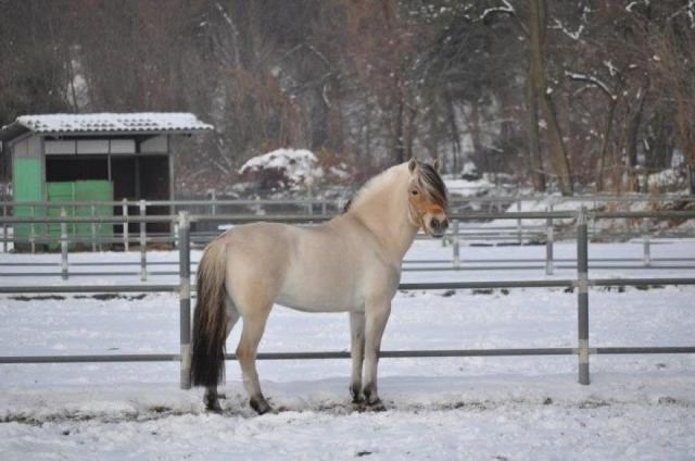 VENDITA PONY FJORD  http://www.equirodi.it/annunci/pony-in-vendita/fjord.htm  VENDO PONY FJORD FEMMINA DEL 2006 , BUONA GENEALOGIA! ADATTA A PASSEGGIATE , LAVORO IN PIANO E SALTO OSTACOLI FINO A BP 90 . ZONA COMO PREZZO INTERESSANTE!