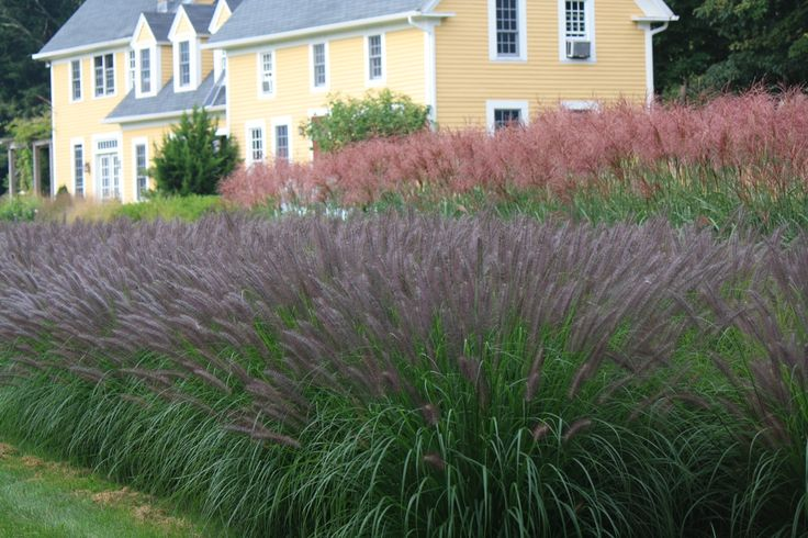 ornamental grass pennisetum red head and miscanthus