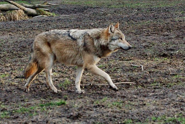 Eurasian Wolf (Canis Lupus Lupus) | Though once abundant ove… | Flickr