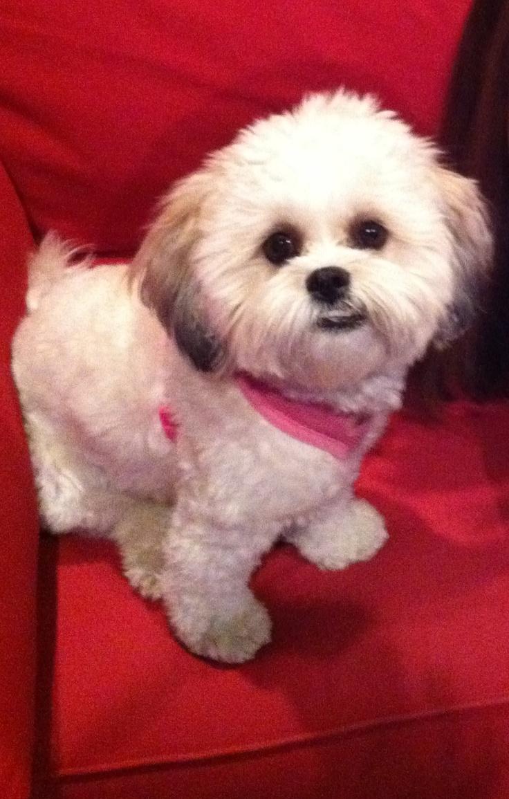 Shichon puppies for sale in kentucky - My Shichon Aka Teddy Bear