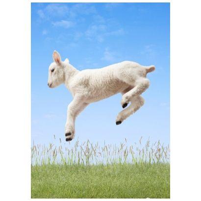 Spring Lamb #postcards