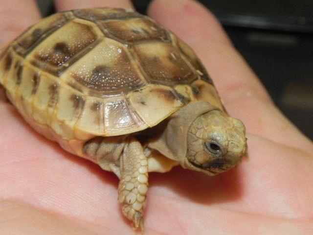 Baby Golden Greek Tortoise for Sale