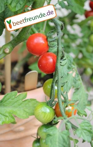 """Wässrige Tomaten aus dem Supermarkt hat jeder!  Die Tomate """"Bistro"""" ist genau das Richtige für Dich, wenn Du intensiven Tomatengeschmack haben willst! Sie reift, wie man im beetfreunde Garten sehen kann, früh und trägt sehr viele kirsch-große Früchte.   Ideal für Naschkatzen, die keinen Garten, sondern einen sonnigen Balkon haben, da sie auch sehr gut im Topf wächst!"""