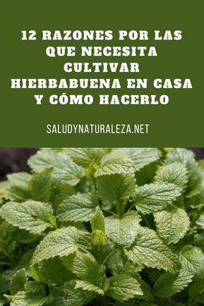 12 razones por las que necesita cultivar hierbabuena en casa y cómo hacerlo. #H…