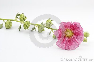 A pink hollyhock on background white