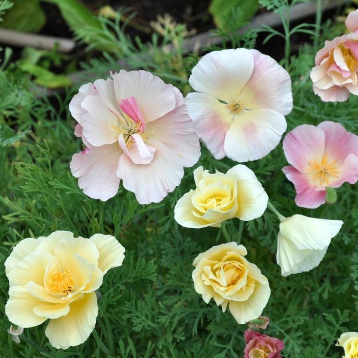 SÖMNTUTA 'Bridal Bouquet' i gruppen Nyheter 2013 / Ettåriga Blomsterväxter hos Impecta Fröhandel (8364)