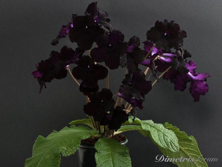 Streptocarpus dimetris 'Black Magic'. A very dark purple.