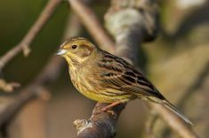 Gulsparv Yellowhammer (Emberiza citrinella) stock photo
