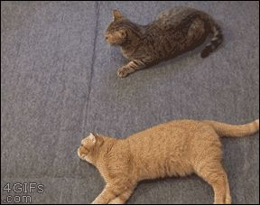 orange kitty valiantly defending his brethren - GIF. Oh what a LOL!