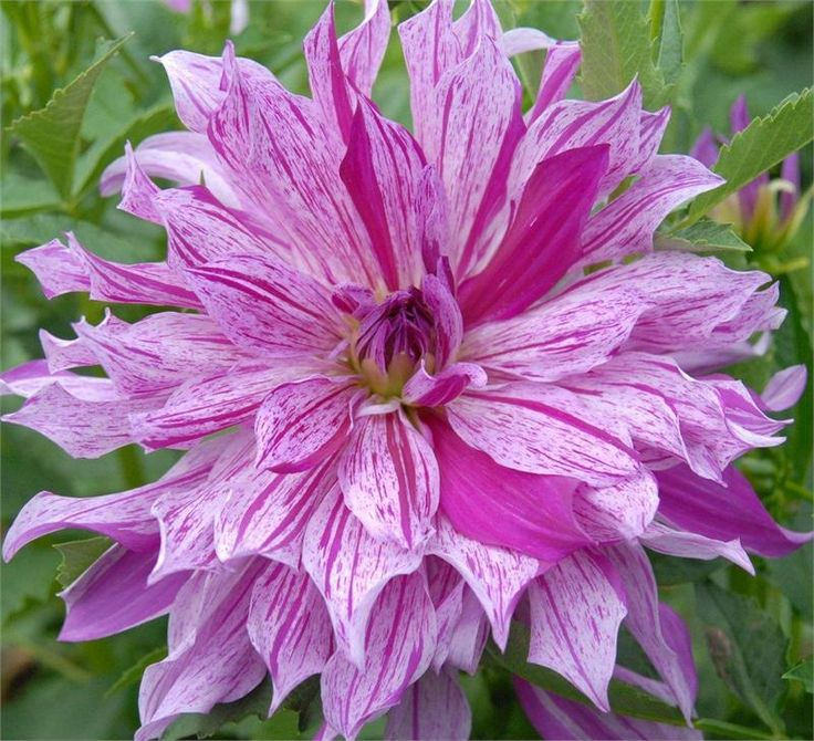 Gorgeous new dahlia variety for 2013 brandon michael is for Flowers that look like dahlias