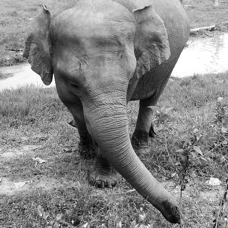 Balikpapan forest elephant breeding (Indonesia) by Pas Ibañez