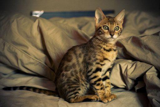 El gato de Bengala o gato Bengalí