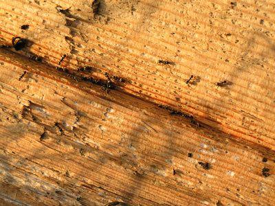 Non-Toxic Ant Killer Recipe
