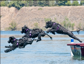 Cutwater Portuguese water dogs!