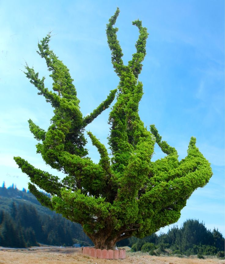 Twisty tree in Oregon