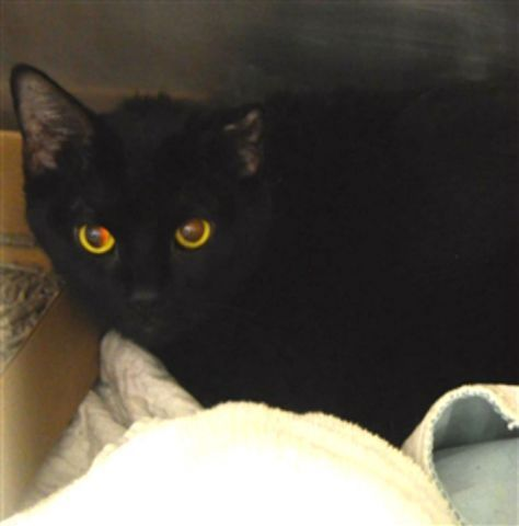 NEON - 18707 - - Brooklyn  *** TO BE DESTROYED 01/24/18 *** KITTY WITH MAMMARY GLAND TUMOR NEEDS PLACEMENT ASAP! Shine Bright Like Our NEON!  NEON is a beautiful middle aged kitty that has a mammary gland tumor. NEON needs to be seen by a vet ASAP as her prognosis is  guarded.  -  Click for info & Current Status: http://nyccats.urgentpodr.org/neon-18707/