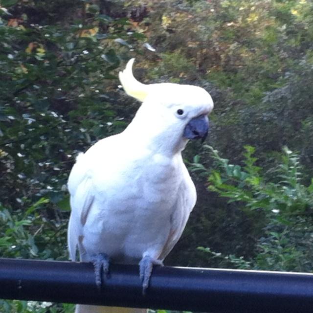 Sulphur-crested cockatoo in my backyard.