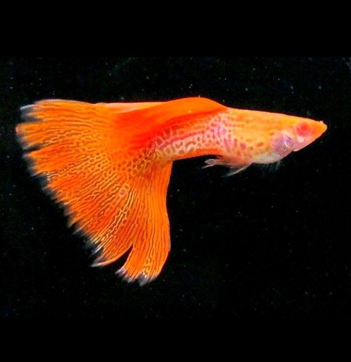 Orange Coloured Spotted Guppy Amazingfish Amazingbeta Arowanas Beautifulkoi Beautifulfish Guppyfishes Aquarium Fish Freshwater Aquarium Fish Guppy Fish