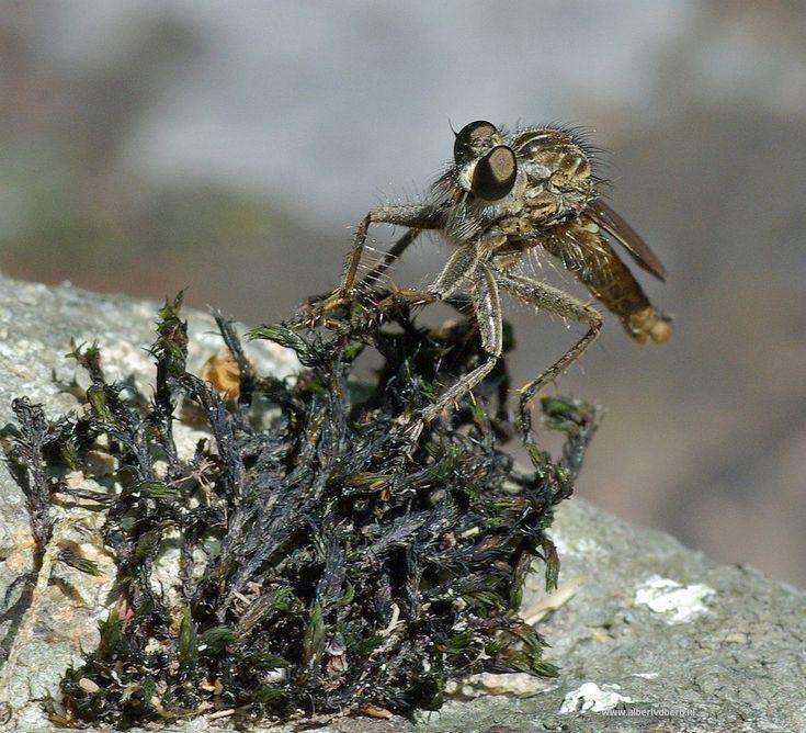 Ik denk een steekvlieg, maar weet het eigenlijk niet.