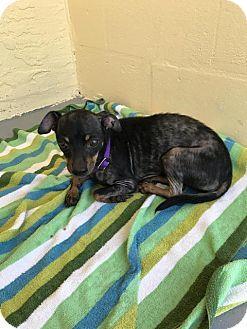 Fort Myers, FL - Miniature Pinscher/Mixed Breed (Medium) Mix. Meet Ziggy, a dog for adoption. http://www.adoptapet.com/pet/18586626-fort-myers-florida-miniature-pinscher-mix