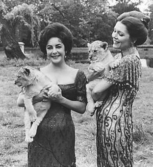 "Elizabeth Taylor and Diana Rigg get momentary enjoyment from lion cubs during the making of ""A Little Night Music."" As a teenager, Taylor got a cub as a gift. Such animals seem to be used as props for her photos, but Liz did promote humane treatment. In the movie, Rigg played the jealous wife of a philandering husband pursuing Taylor's famous actress."