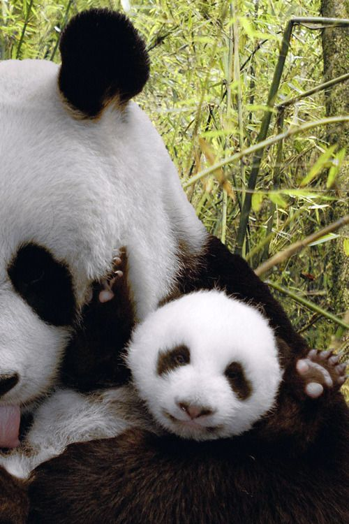 Panda babies are adorable because they look like they are smiling!
