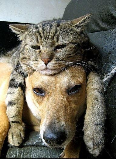 Cat wig on dog.