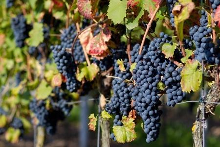 $15000 por recorrido en carreta por 3 viñas + degustación + visita a chichería con Ruta del Vino Isla de Maipo