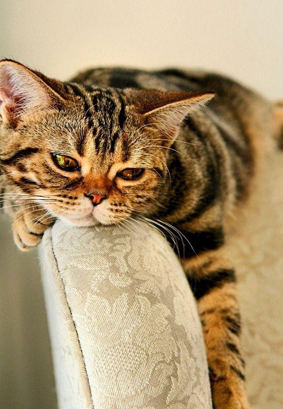 Американская короткошерстная кошка (фото): кошачий долгожитель