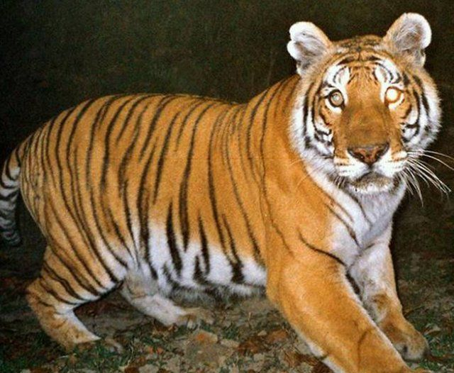 Conservation drones will soon hover over select tiger reserves in India, marking the beginning of significant technological intervention in wildlife conservation. Though intended primarily for the monitoring of tiger population in the reserves, the unmanned aircraft would collect and transmit visual data on animal movements, poaching activities and instances of forest fire from inaccessible forest …